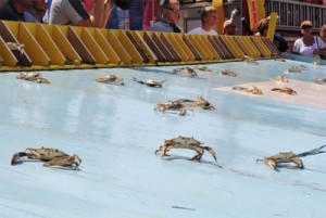 Maryland Crab Race on Labor Day